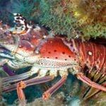 lobsters eat