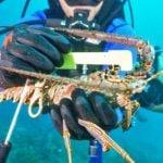 Measure lobster underwater