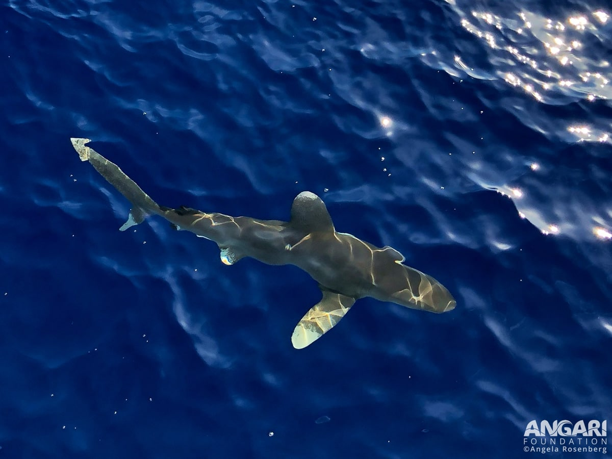 Shark Biologists Team Up With Aerospace Engineer To Discover Behaviors Of Oceanic Whitetips
