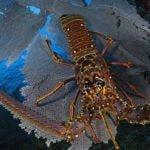 spiny lobster species