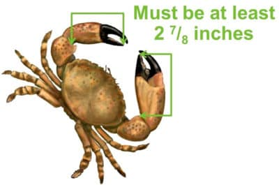 measuring stone crab claw