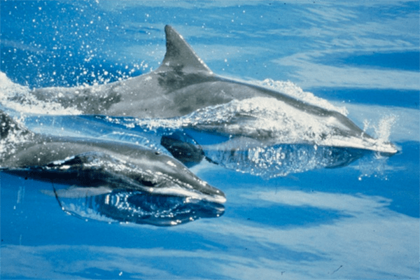 For Survival, Dolphins Share Fish And A Little More