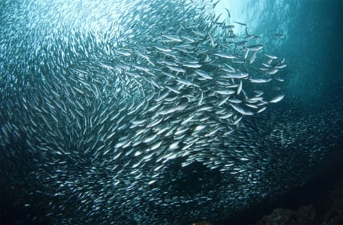 Sardine school social fish behavior