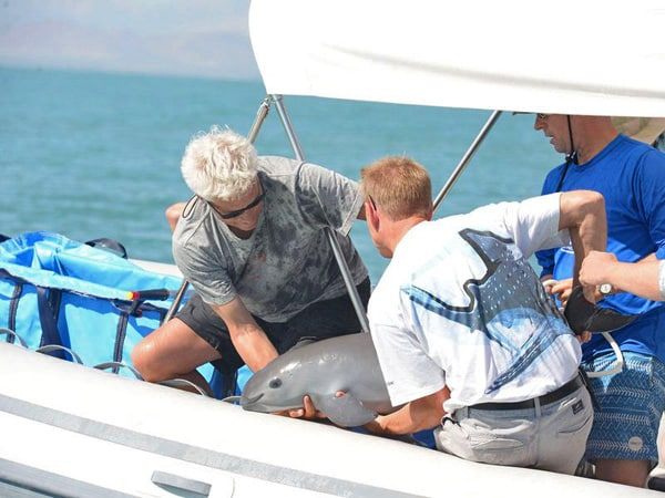 Vaquita porpoise critically endangered