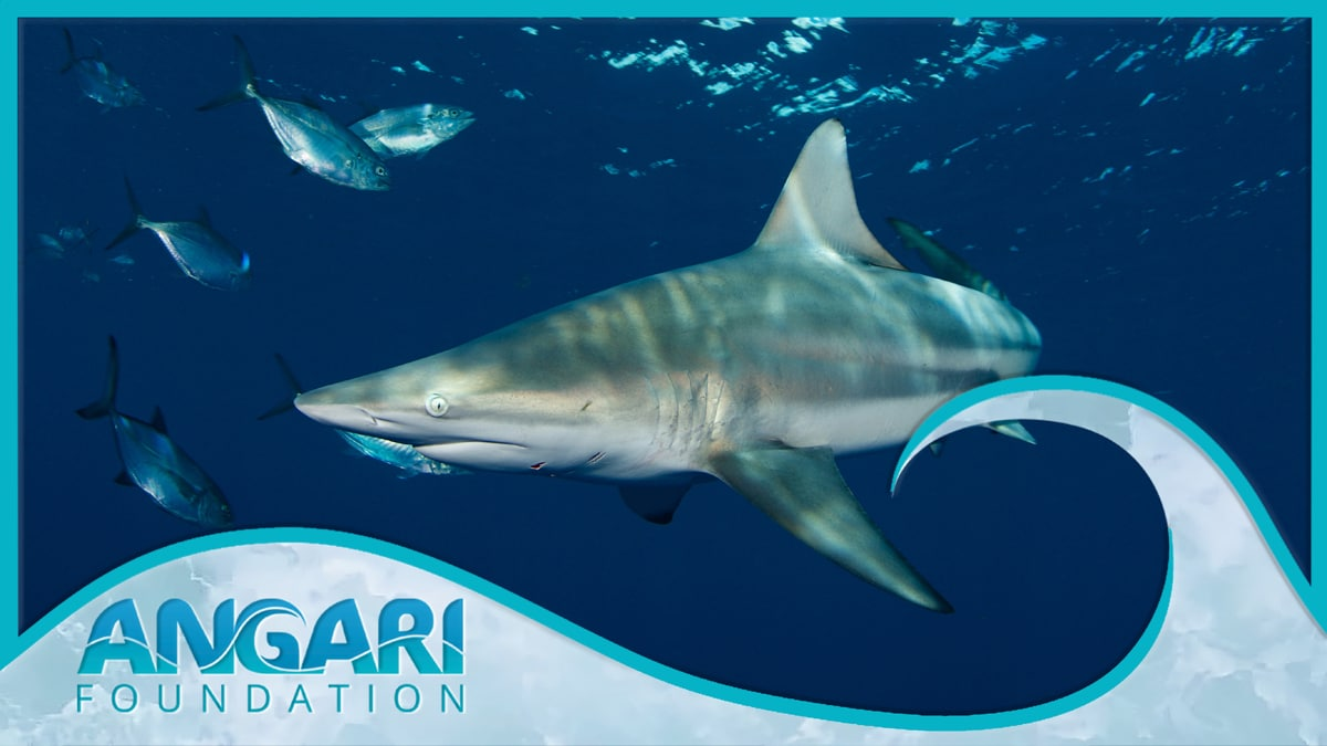 ANGARI Foundation To Premiere 'Generation Ocean: Sharks' 360 Film