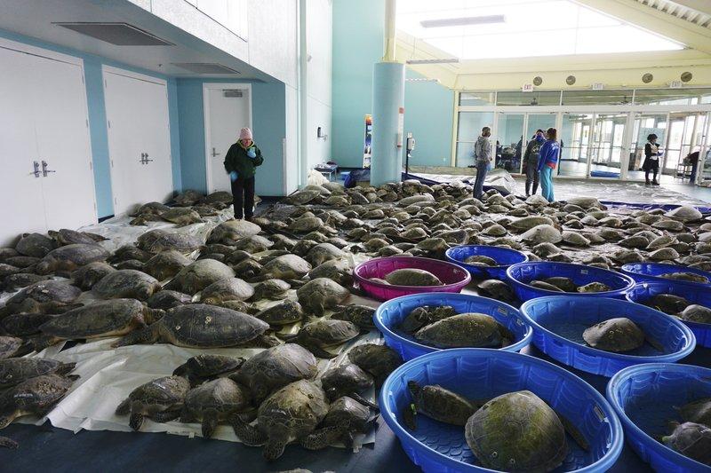 Sea Turtles Freezing In Texas