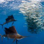 ANGARI Deep Dive Sailfish feeding